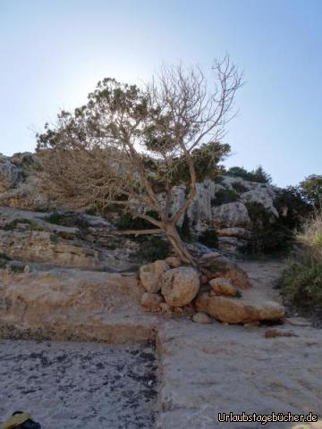 Bizarrer Baum am Playa Cales Piques : Bizarrer Baum am Playa Cales Piques