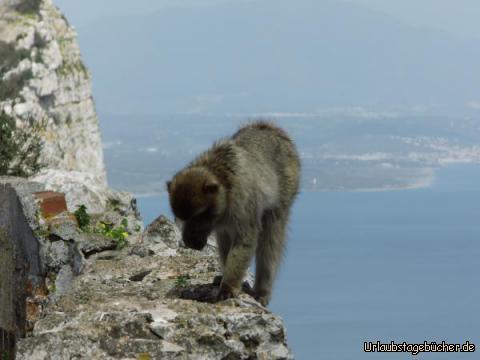 Die Affenmafia von Gibraltrar: Die Affenmafia von Gibraltrar