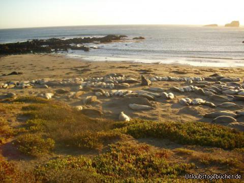 Piedras Blancas Rookery: wir sehen die größte See-Elefantenkolonie Kaliforniens am Point Piedras Blancas, direkt an der Pazifikküste und am Highway 1